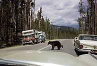 60-66_bear-crossing.jpg