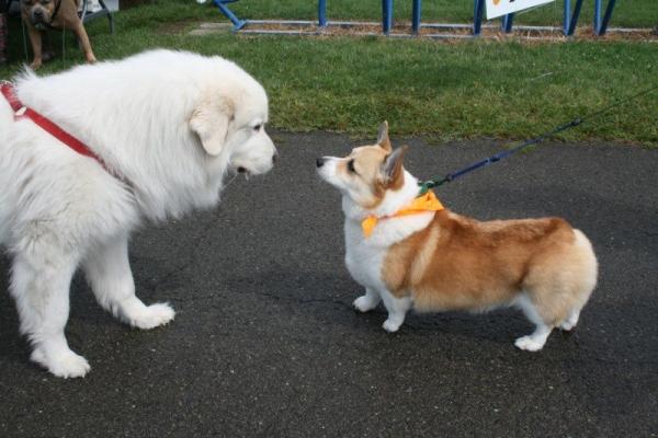 corgi-and-big-dog2
