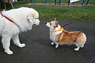corgi-and-big-dog1.jpg