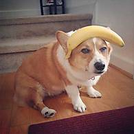 corgi_with_a_banana_on_his_head.jpg
